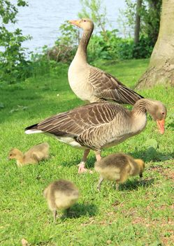 Family of ducks - Free image #297547
