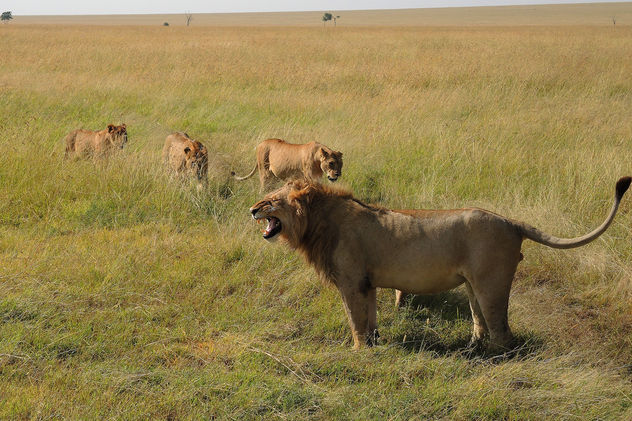 Kenya (Masai Mara) Female lions are in hurry to make him calm - image gratuit #298137