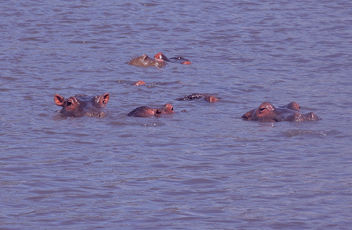Tanzania (Ngorongoro) Hypos living in fresh water lake - бесплатный image #298257