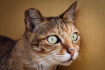 Cat Portrait - Free image #298287