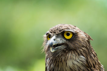 Sri Lankan Brown Fish Owl - бесплатный image #298377