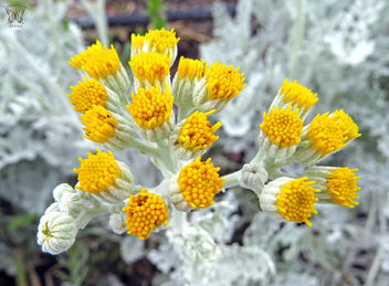Dusty Miller in bloom - бесплатный image #298657