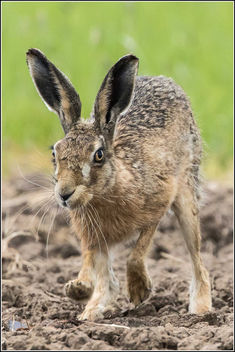 Brown Hare - Kostenloses image #298857