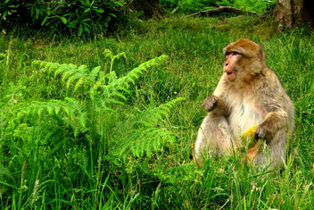 Barbary macaques - Free image #299367