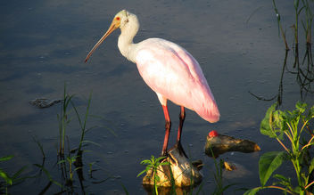 Spoonbill Catching Some Early Morning Sun - image #299387 gratis