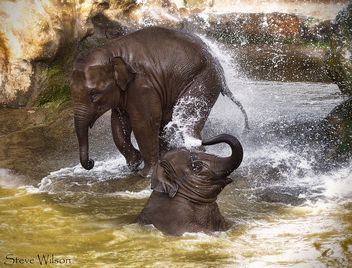 Baby Elephants at Play - image gratuit #300287