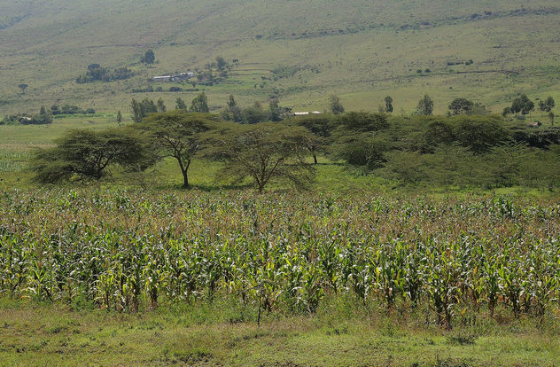 Kenya (Rift Valley) Corn fields at savanna - Free image #300467