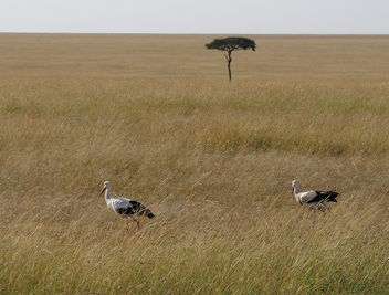 Kenya (Masai Mara) Tiny acacia is not alone - image gratuit #300487