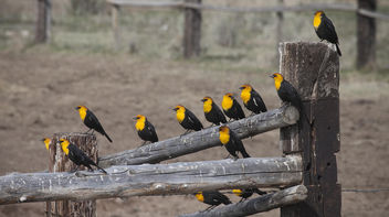 Yellow-headed black birds at Cokeville Meadows - бесплатный image #300547