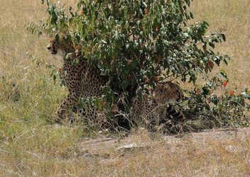 Kenya (Masai Mara) Invisible cheetahs always alert - image gratuit #300557