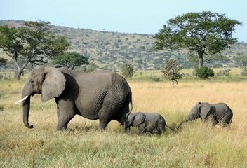 Tanzania (Serengeti National Park) Baby elaphants follow their mum - image gratuit #300697