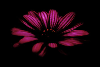 Dark Flower - image gratuit #300707