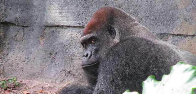 The Look of a Silverback - image #300827 gratis