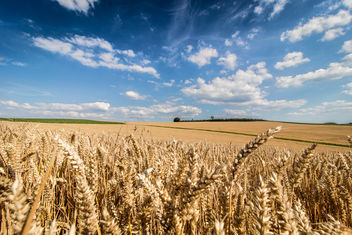 Wheat as far the eye can see - image gratuit #300877