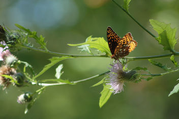great spangled fritillary(Speyeria cybele) on thistle - Kostenloses image #301097