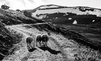 The three sheep - Free image #301227