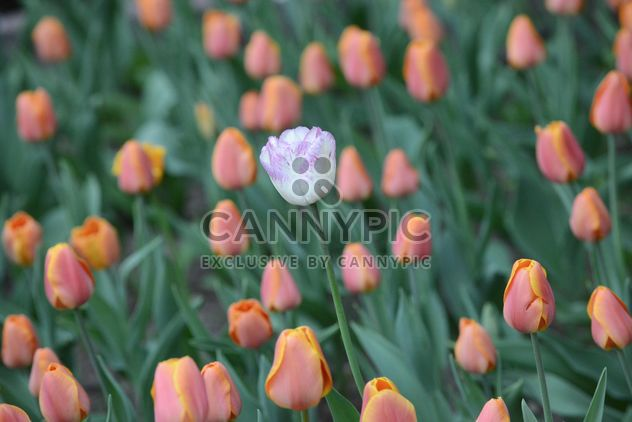 One white tulip in a field of orange tulips - image #301377 gratis