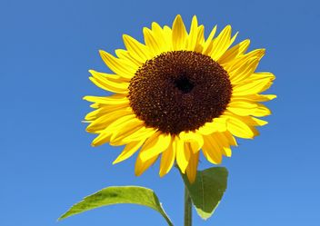 Sunflower - image gratuit #301407