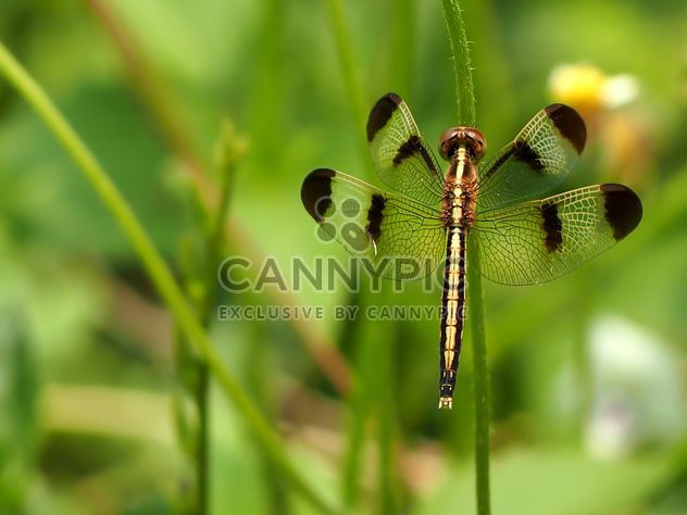 Dragonfly with beautifull wings - бесплатный image #301747