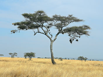 Tanzania (Serengeti National Park) Unique Sausage Tree - image gratuit #301937