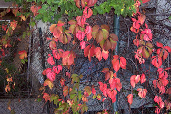 Turkey (Istanbul) Autumn leaves - Free image #303707