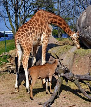 giraffe and antelope in park - бесплатный image #304507
