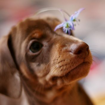 little dachshund puppy - Free image #304587