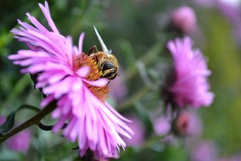 Bee on pink flower - image #304777 gratis