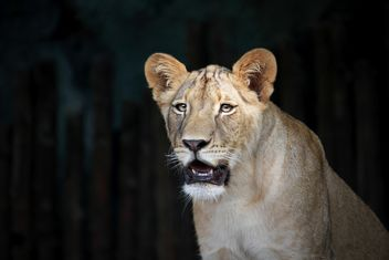 Close-up portrait of female lion - image #305687 gratis