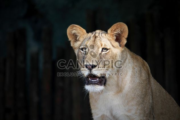 Close-up portrait of female lion - Free image #305687