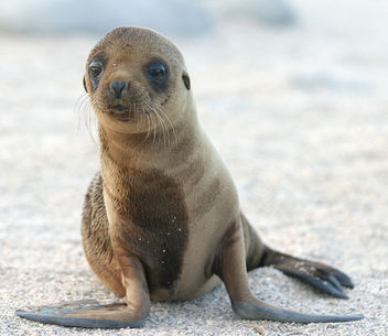 Sea Lion Pup - image gratuit #305937