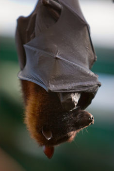 Bat--Really Large Bat! - Free image #306037