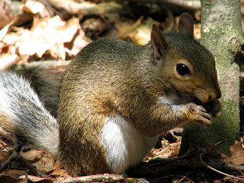 Rehabber Update On The Gray Squirrels - бесплатный image #306127