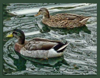 Mr and Missus Mallard - image gratuit #306227