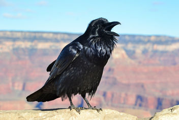 Grand Canyon Raven at Hopi Point 0081 - image gratuit #306367
