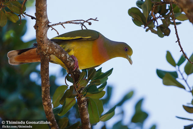 Orange-breasted Green pigeon - image gratuit #306387