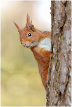 Ecureuil roux / European Red Squirrel - image gratuit #306577