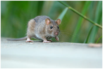Rat surmulot / Brown Rat - image #306647 gratis