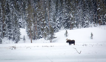 Bull moose along Soda Butte Creek - image #306687 gratis