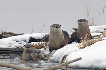 River Otters at Squaw Creek - image #306717 gratis