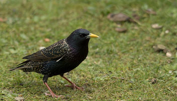 Starling - image gratuit #306747