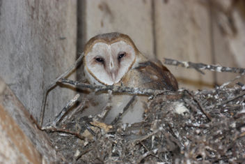 Barn Owlet - Kostenloses image #306857