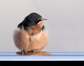 The Yachting Life for a Barn Swallow Fledge - бесплатный image #306917