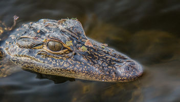It's a baby alligator - image #306947 gratis