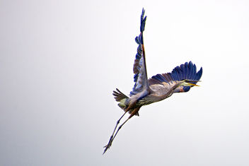 Great Blue Heron - image #306957 gratis
