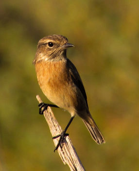 European Stonechat (female) - бесплатный image #306987