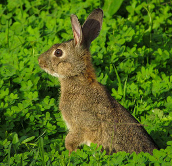 European Rabbit - image #307017 gratis