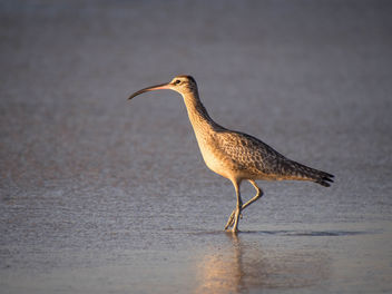 Whimbrel Sunset - image #307097 gratis