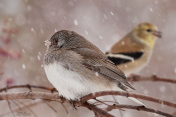 Slate Colored Junco with Goldfinch - Free image #307147