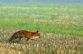 Red Fox, Severn Valley - image gratuit #307287